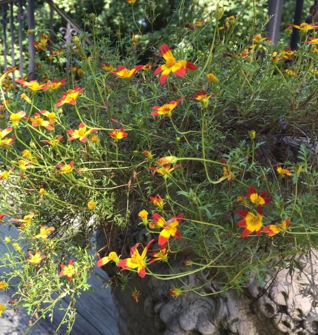 Beedance plant