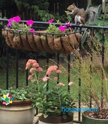 Squirrel enjoying a hand full of Petunias