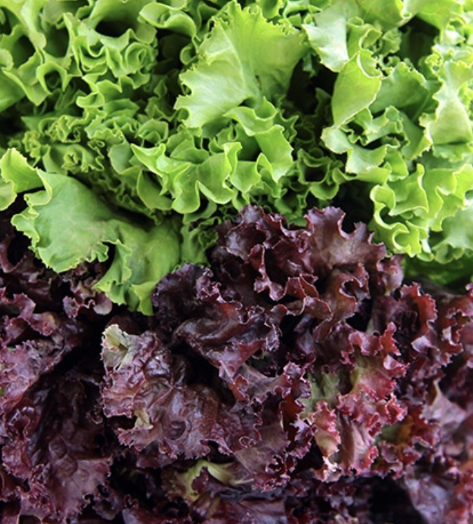 Green & red Leaf lettuce